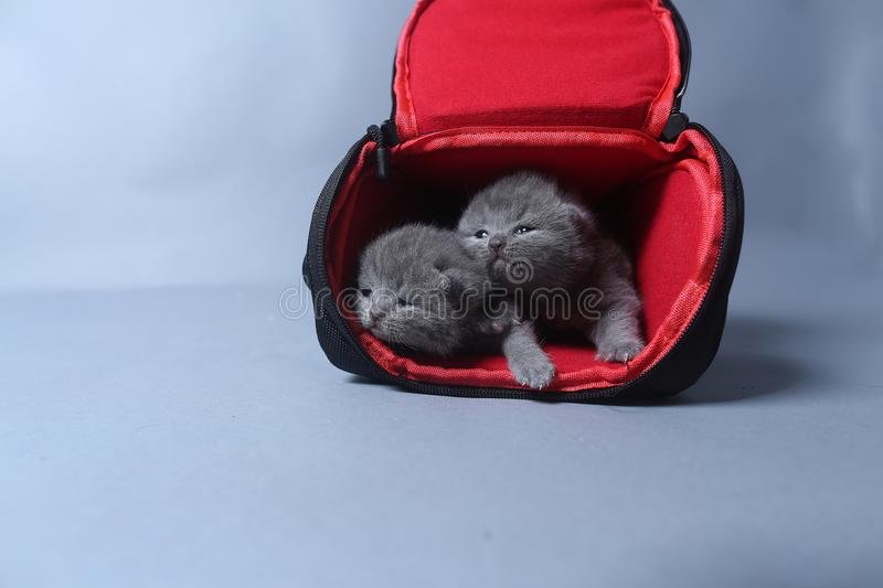 Kittens getting out of a photo camera bag. British Shorthair kittens sit in a photo camera bag, white background royalty free stock photography