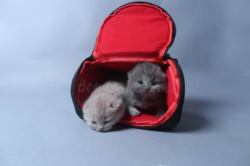 Kittens getting out of a photo camera bag. British Shorthair kittens sit in a photo camera bag, white background stock image
