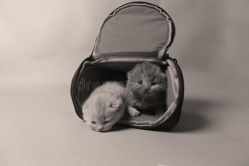 Kittens getting out of a photo camera bag. British Shorthair kittens sit in a photo camera bag, white background royalty free stock photo