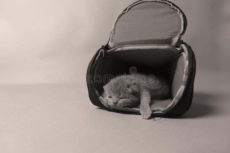 Kittens getting out of a photo camera bag. British Shorthair kittens sit in a photo camera bag, white background royalty free stock photos