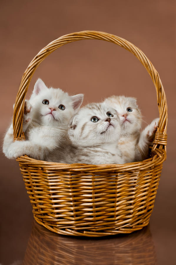 Kittens. Group of white beautiful fluffy little kittens, in basket on brown background stock image