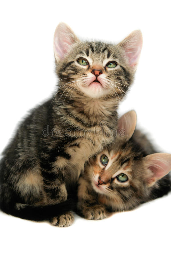 Kittens - isolated on white royalty free stock photos