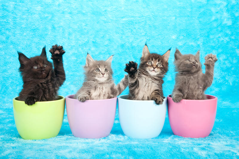 Kittens in jars. 4 Maine Coon kittens sitting in containers giving a high 5 wave on a blue background