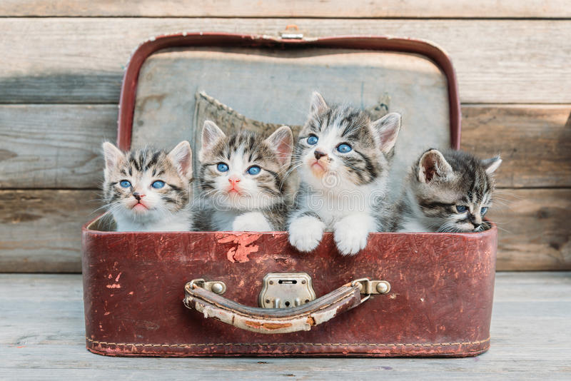 Kittens look up in suitcase royalty free stock image