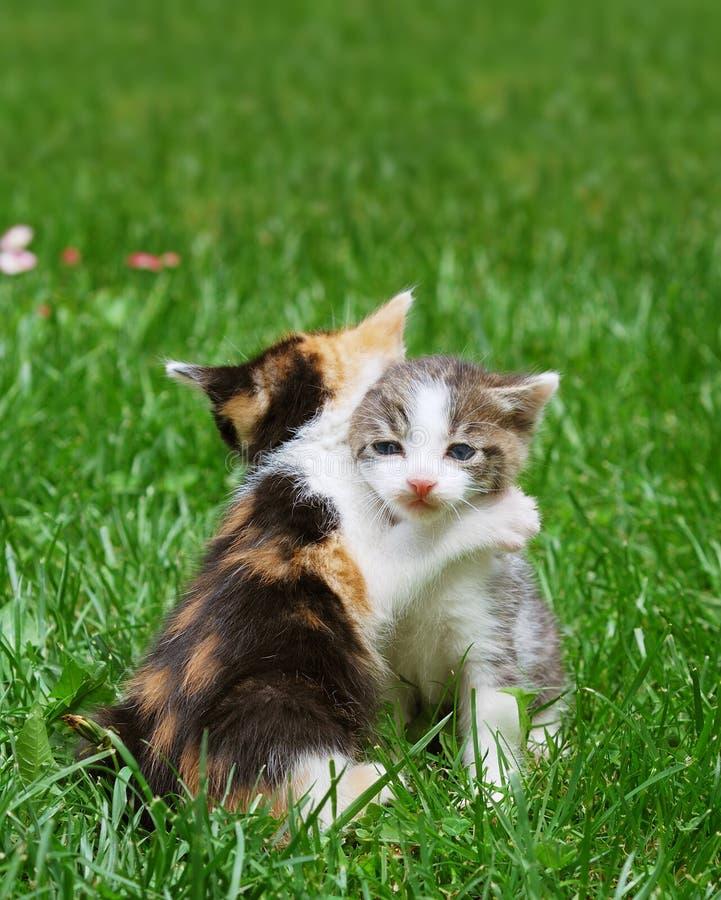 Kittens playing royalty free stock photos