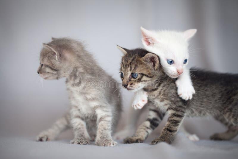 Kittens playing stock image