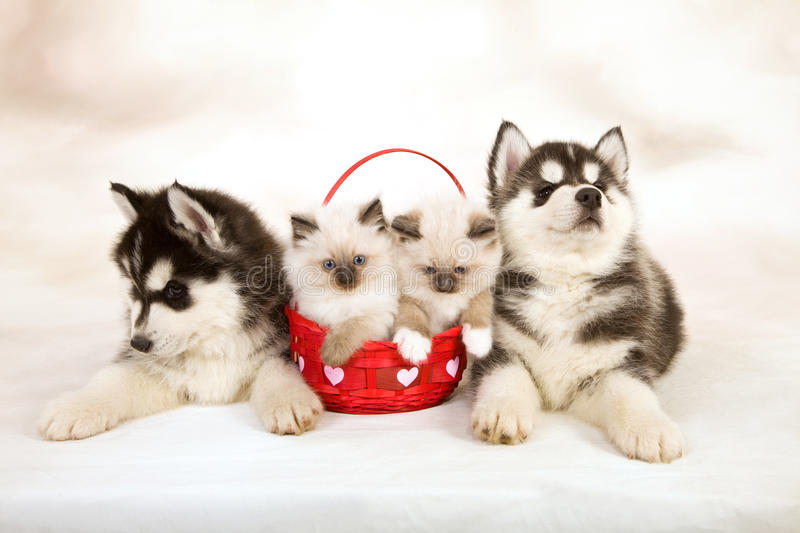 Kittens and puppies. Siberian Husky puppies with two Ragdoll kittens sitting in red Valentine heart basket, against hand-painted vignette background canvas