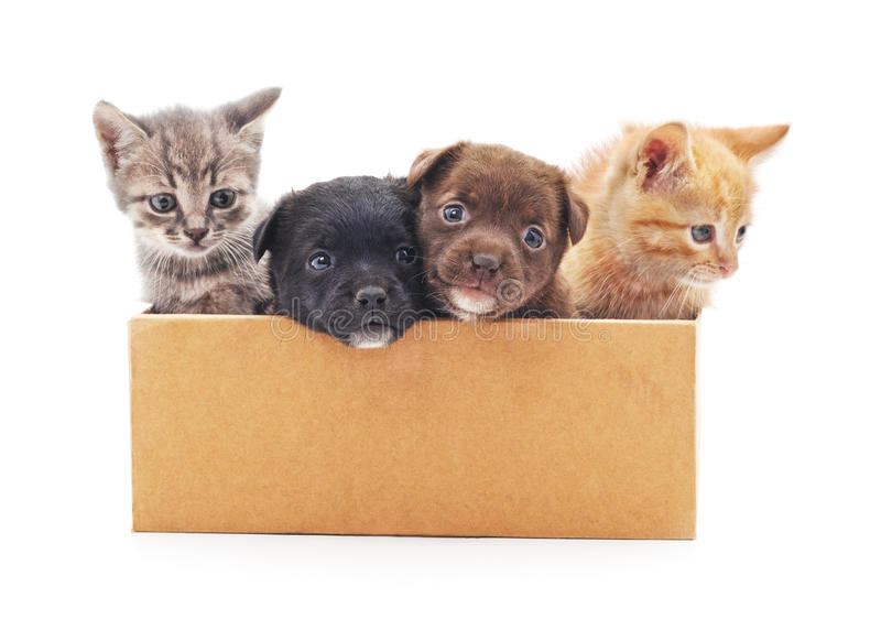 Kittens and a puppies in a box. Kittens and a puppies in a box on a white background royalty free stock images