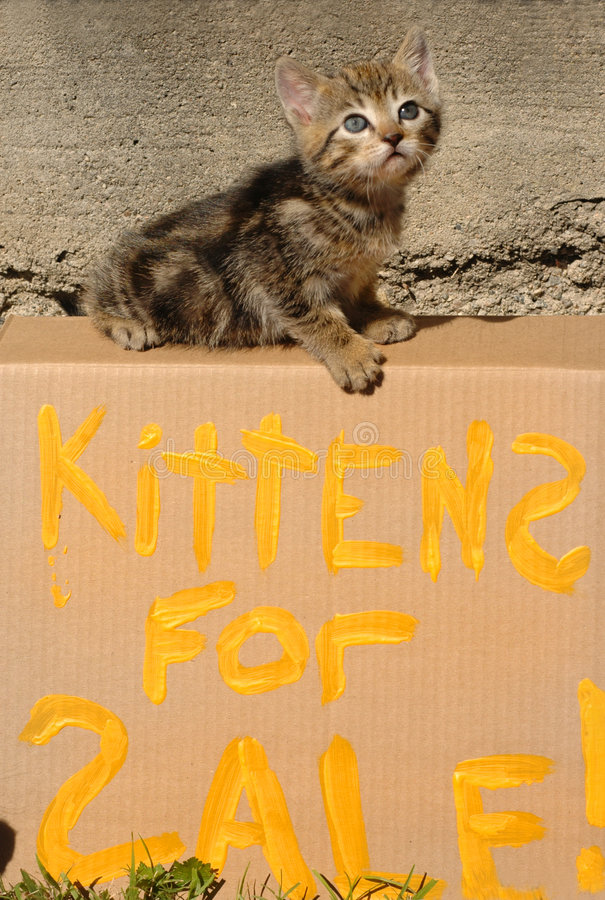 Kittens for Sale. A little kitten climbs on a Kittens For Sale' Sign stock image