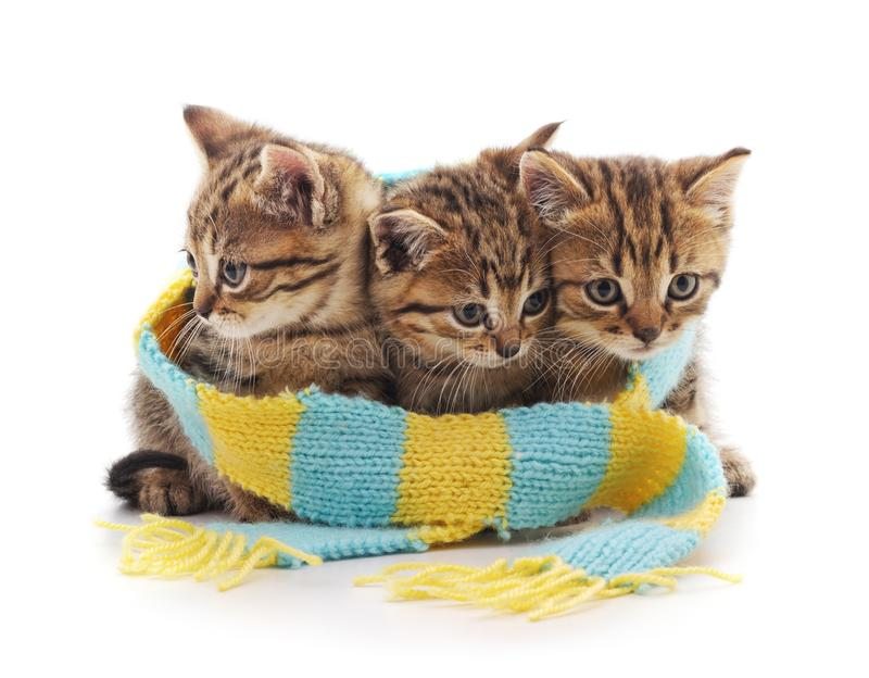 Kittens in a scarf. Kittens in a scarf on a white background royalty free stock photography