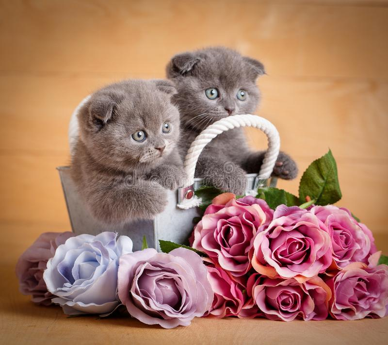 Kittens, Scottish Cat. A Couple Of Cats Near Flowers. Stock Photo ...