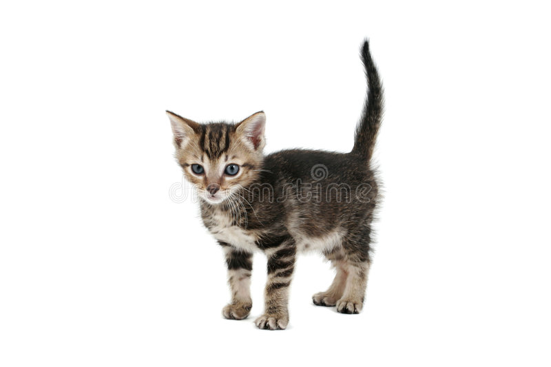 Kittens standing. Siamese-cross kitten, 5 weeks old, on white background royalty free stock photos