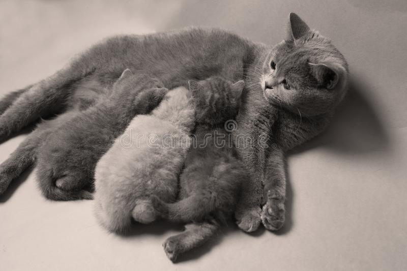 Kittens suckling for mother, British Shorthair breed stock image