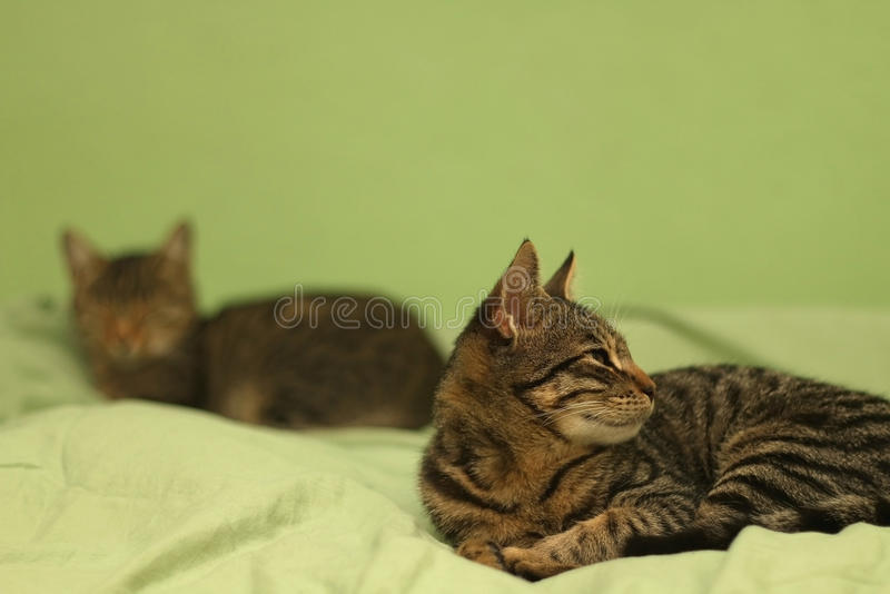 Kittens. Two tabby cats lying on human bed. Selective focus royalty free stock photography