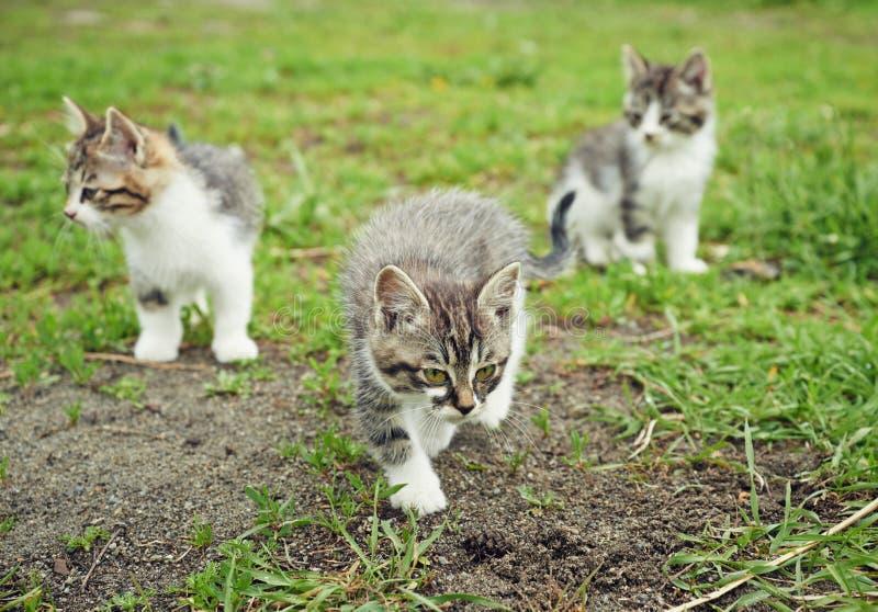 Kittens walks outdoor royalty free stock photo