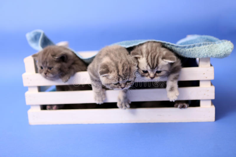 Kittens in a wooden crate. Small British Shorthair kittens in a wooden crate, covered by a towel royalty free stock images