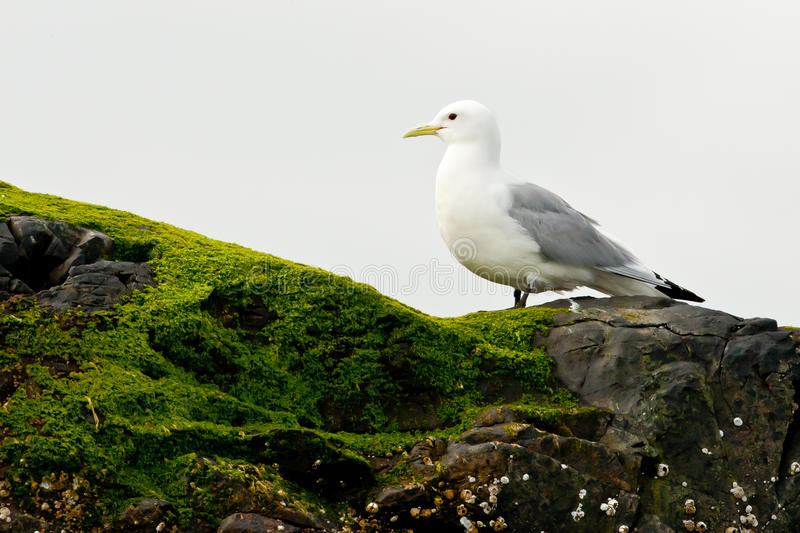 Download Kittiwake stock image. Image of gull, white, blacklegged - 25294775