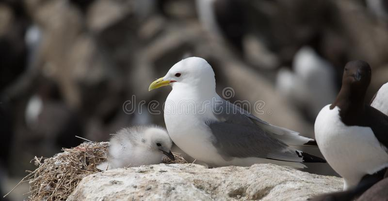 Kittiwake and chick royalty free stock photography