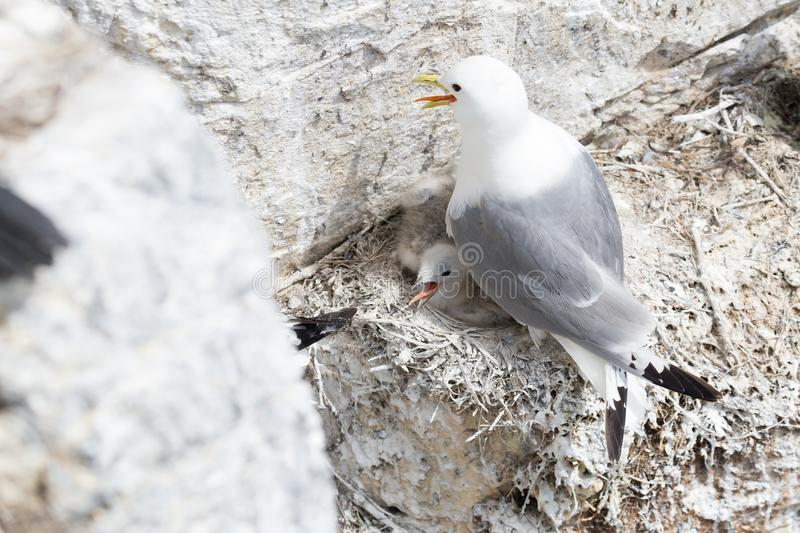 Kittiwake and chick stock photos