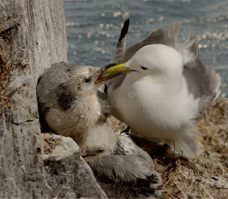 Kittiwake Feeding Her Chick Stock Images