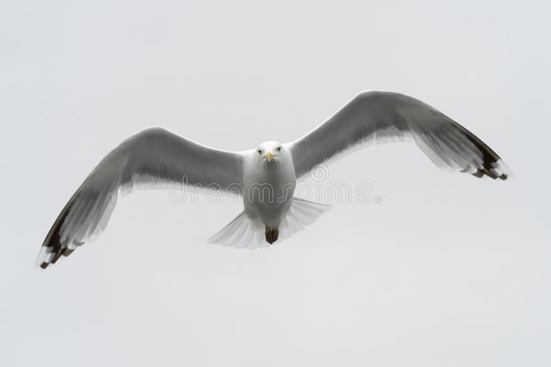 Kittiwake in flight royalty free stock image