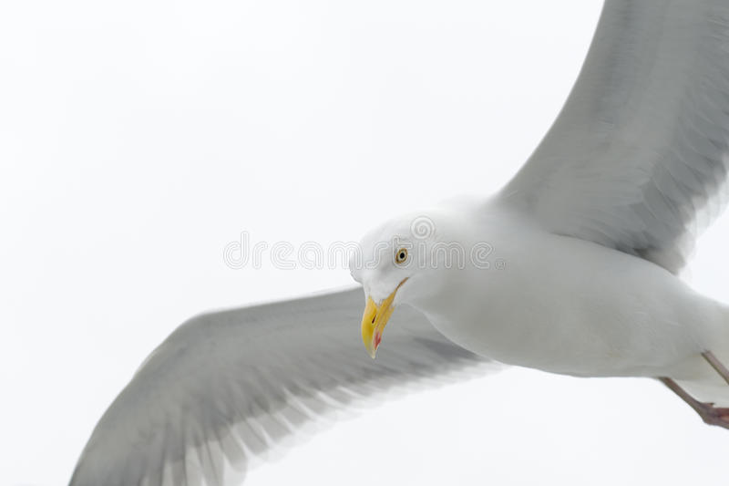 Kittiwake in flight stock photos