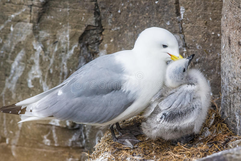 Kittiwake mother and chick, Latrabjarg cliffs, Iceland royalty free stock image