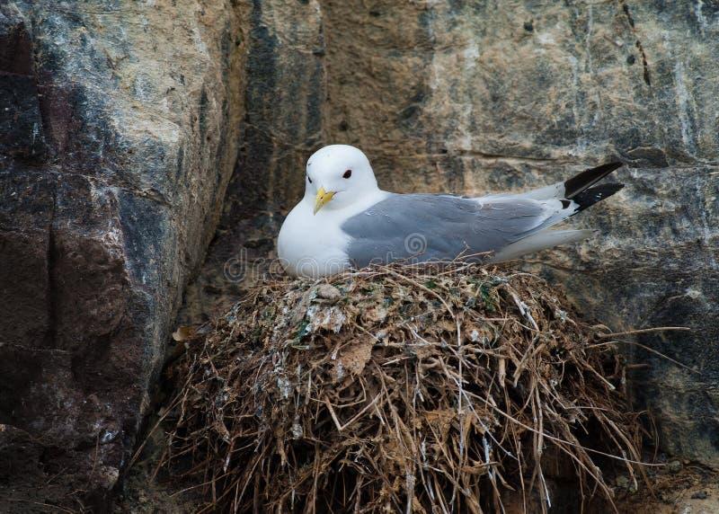 Kittiwake on nest stock image