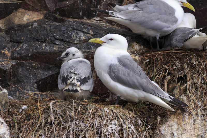 Kittiwake royalty free stock photography