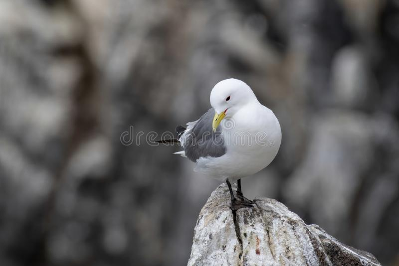 Kittiwake Rissa tridactyla on the cliffs of the Isle of May stock photos