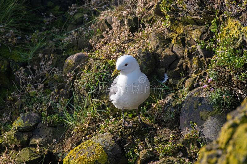 Kittiwake Rissa tridactyla on the cliffs of the Isle of May royalty free stock photography