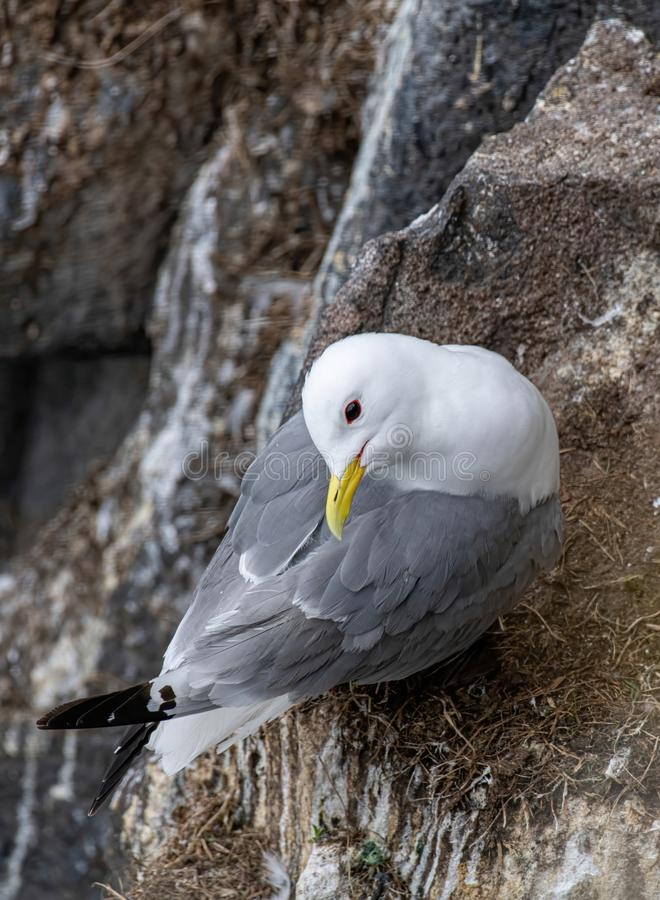 Kittiwake Rissa tridactyla on the cliffs of the Isle of May stock photography