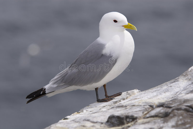 Kittiwake185 stock image