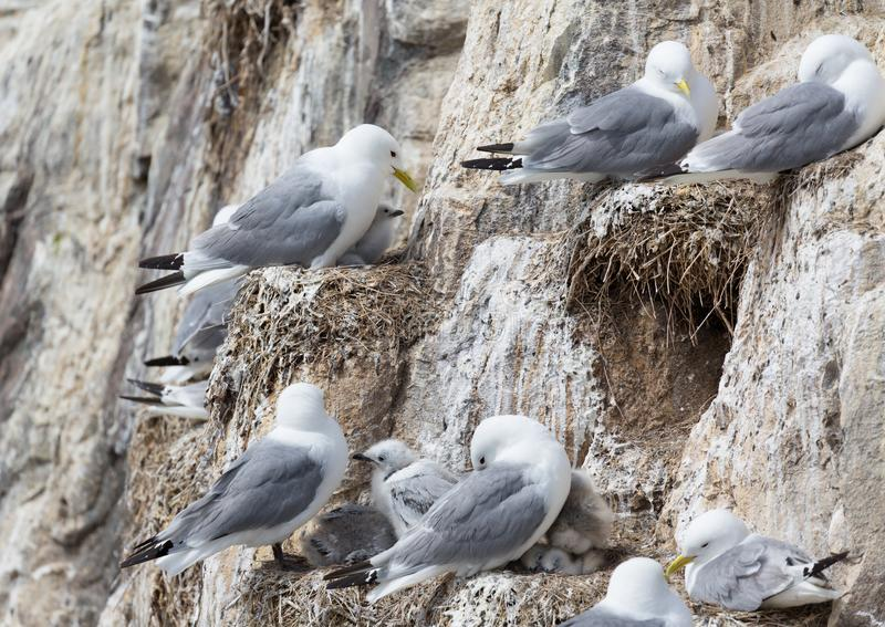 Kittiwakes and chicks royalty free stock photo