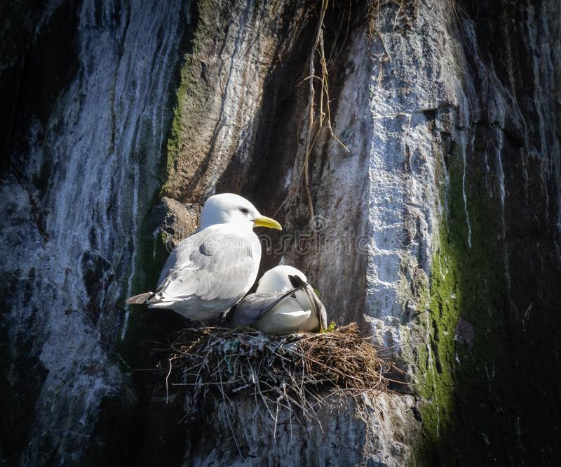 Kittiwakes nest on a cliff in the Farne Islands stock photo