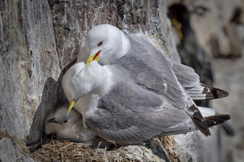 Kittiwakes royalty free stock photos
