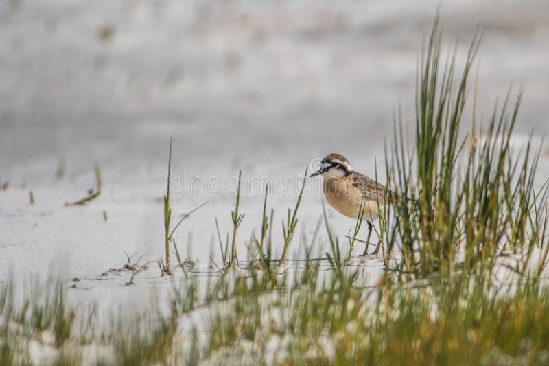 Kittlitz`s plover on the beach, West Coast National Park near Langebaan royalty free stock image