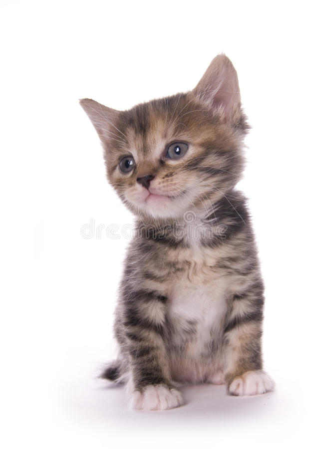 Download Kitty stock photo. Image of gray, concentrated, fuzzy - 16409236