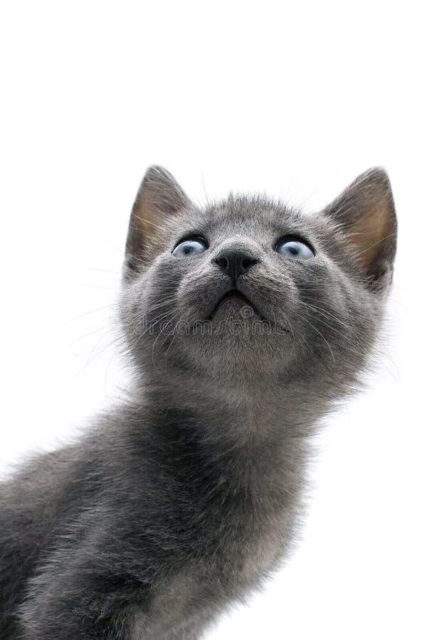 Download Kitty stock image. Image of portrait, blue, feline, beautiful - 9955801
