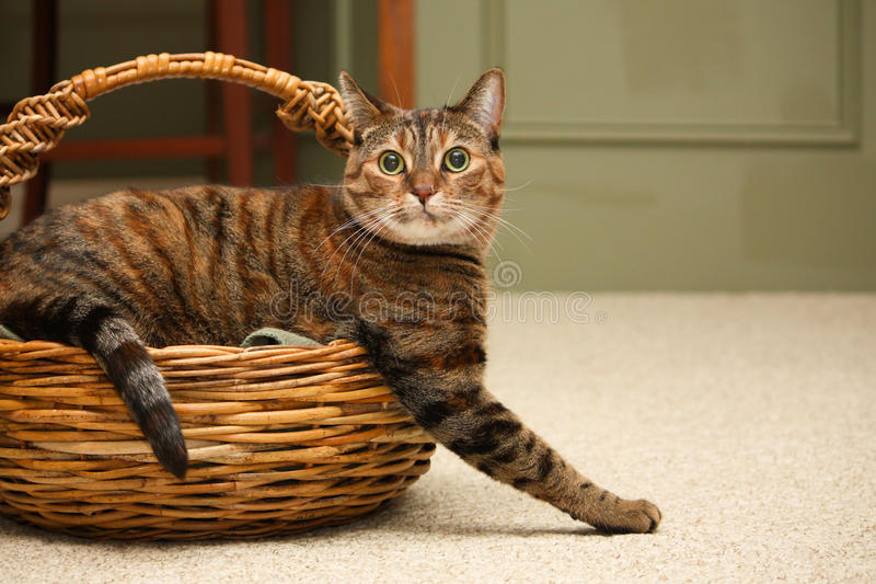 Kitty In A Basket Stock Photos
