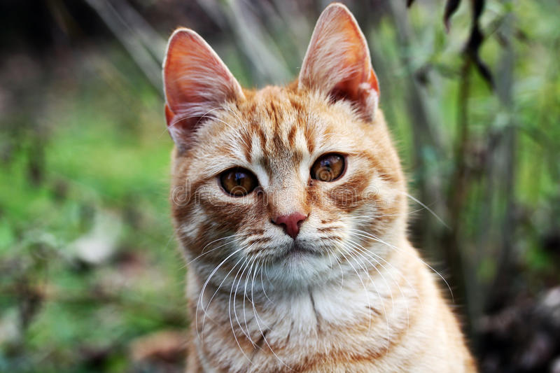 Kitty cat. This is a orange kitty cat in the nature royalty free stock photography