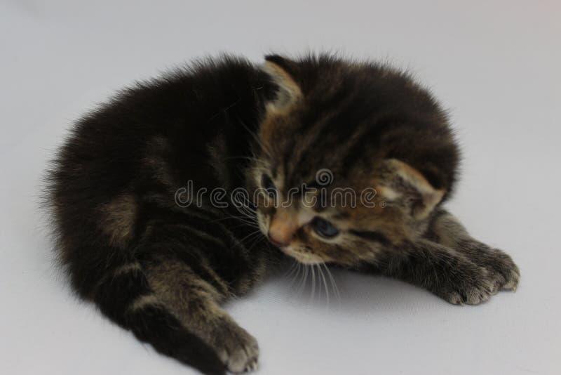 Kitty che assomiglia ad una tigre immagini stock