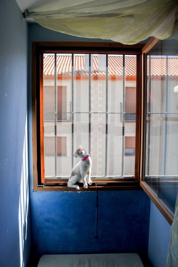 Kitty che guarda attraverso la finestra stridente immagini stock libere da diritti