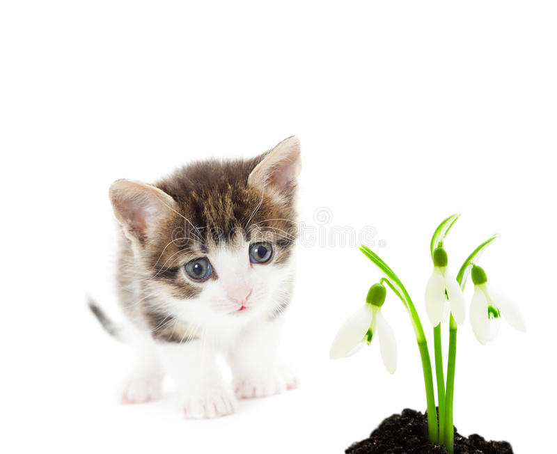 Kitty and snowdrop flower royalty free stock photos