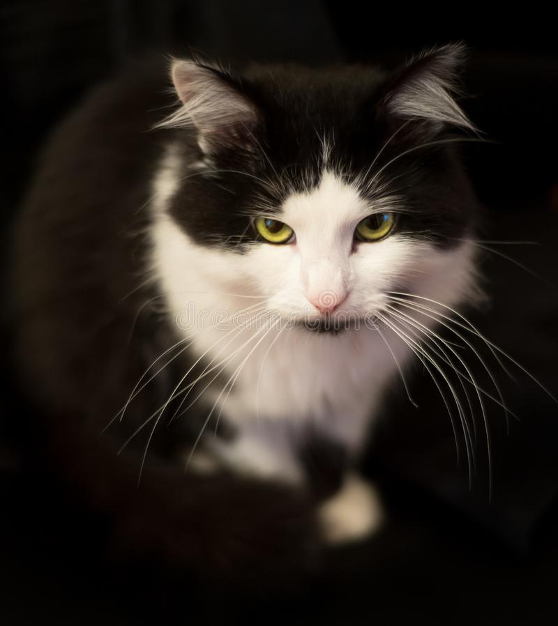Black and white cat. Home favorite pet. royalty free stock images