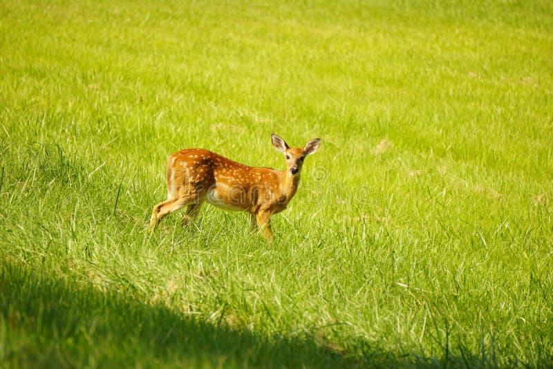 Kitz im Gras stockfoto