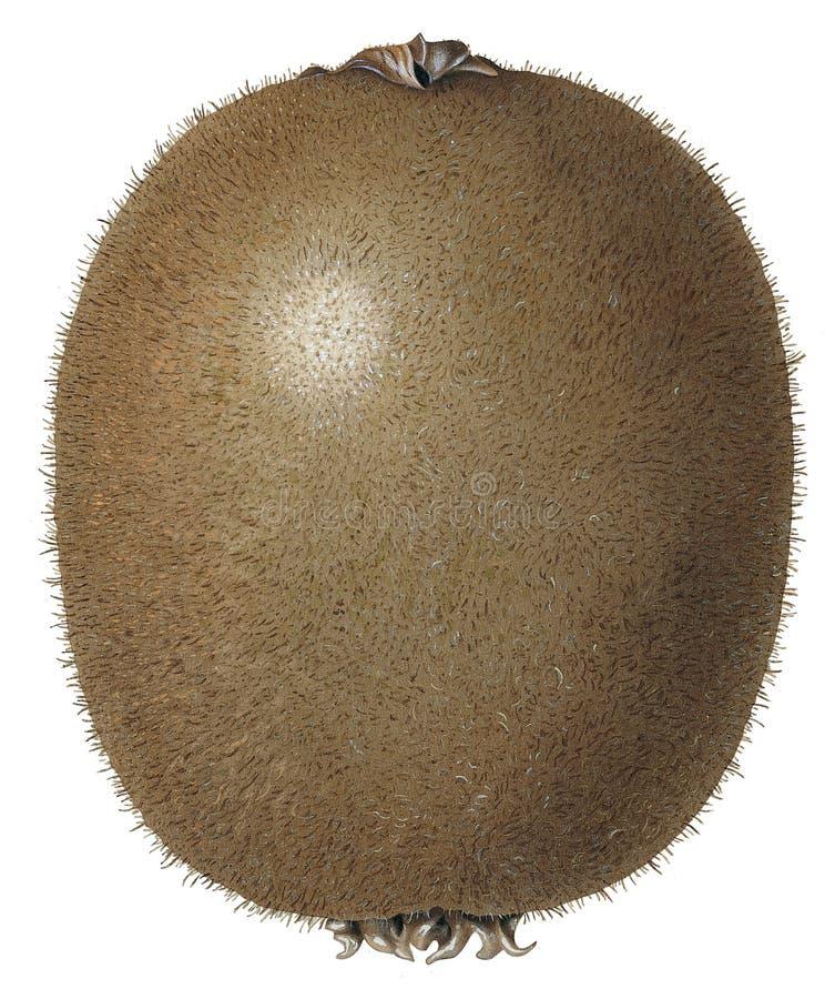 Kiwi lizenzfreie abbildung