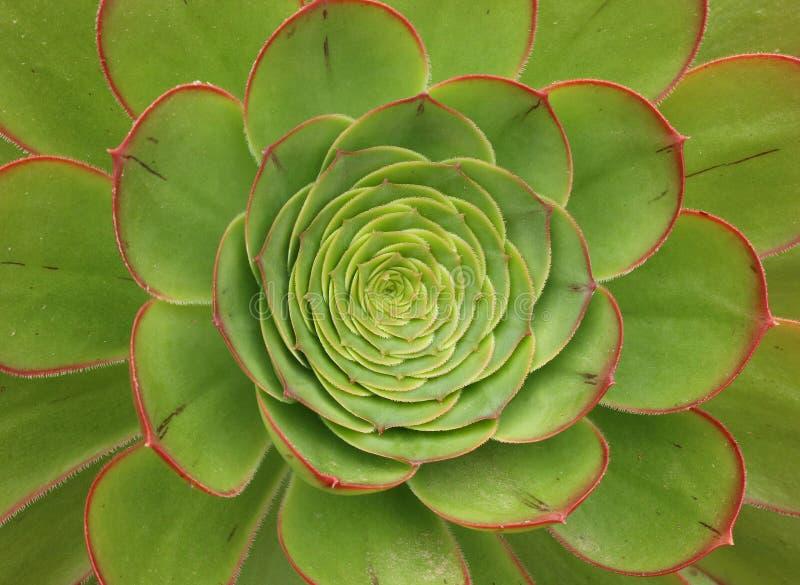 Kiwi Aeonium, un succulent éternel vert et rouge image libre de droits