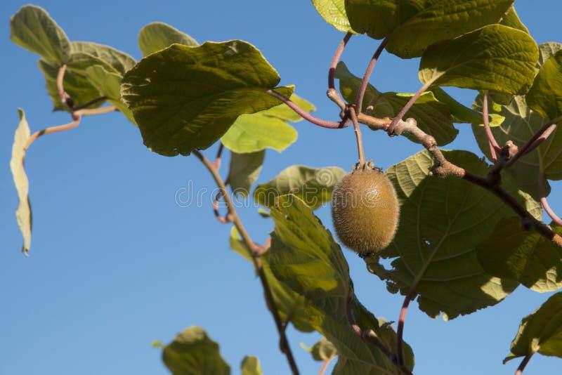 Kiwi am Baum lizenzfreie stockfotografie