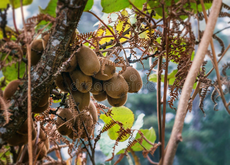 Kiwi che crescono in un albero fotografia stock libera da diritti